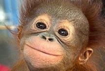Help GFAS to Help Ape Sanctuaries in Asia! / by GFAS Sanctuaries