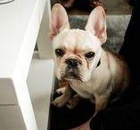 riley / french bulldogs