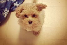 Maltipoo / Pics of my Maltipoo puppy Archer or things for him / by Kat Marsh
