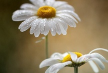 Don't eat the Daisies ~for B / For the once little boy that use to bring me daisies. <3 / by Katherine Gruender