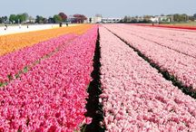 Hollands glorie - Holland glory / The country I was born in!