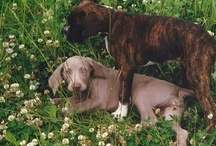 Weimaraners are family / My Weimaraner is Azzaro! and I love them all! Weimpies are best dogs ever!