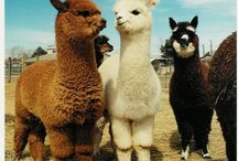 Alpaca / They are so cute and fluffy! But they spit!