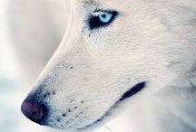 Siberian Husky / by Pyper Trisler