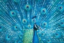 All Things Peacock / by Pamela Saunders