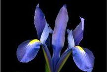 Iris / by Connie Richard