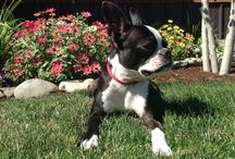 Boston Terrier love :) / by Jamie Meckel