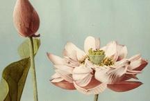 B O T A N I Q U E ♥ Lotus & Lily Blooms