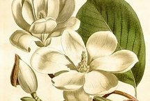 B O T A N I Q U E ♥ Magnolias / by Phillippa