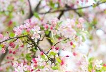 B O T A N I Q U E ♥ Cherry Blossoms