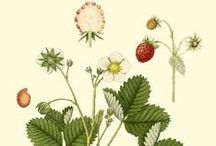 Botanical Illustration / Flora and Fauna illustrations