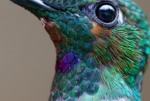~Hummingbirds~ / These are my favorites of all the birds that flitter about! I find them fascinating.