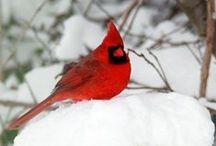 Cardinal Beauty / by Amber Battaglini