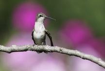 hummingbirds / #hummingbirds #birdphotography