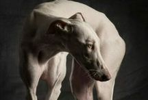 Save the Greyhounds / by Last Chance for Animals
