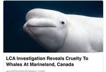 Marineland Canada Investigation / LCA conducted a five-month undercover investigation into Marineland Canada, during the summer and fall of 2015, with a primary focus on the park's beluga whale population and the conditions under which they are being held. The majority of the park's 46 belugas are confined to just three main pools with no breeding program in place to regulate births, allowing Marineland's population of belugas to continue to grow at an alarming and irresponsible rate. / by Last Chance for Animals
