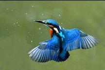 Kungsfiskare / Fåglar