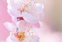 Sakura, Cherry Blossoms / by Alexandra Bibby