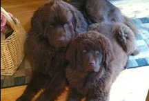 my dogs / yep I love Newfies these two are number 3 and 4 of our Newfies / by claudia roulier's studio