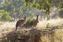 Australian Wildlife / by Julie