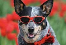 BLUE..RED HEELERS....FRIENDS !! / GREATEST DOGS!!! VERY SMART.. LOYAL,HONEST & TRUE..HEELERS ARE FAST, FIERCE & POWERFUL. THEIR HEARTS ARE UNIQUELY TRUE AND PROTECTIVE..VERY SHARP MINDS!!  THEIR LOYALTY IS AMAZING..I'VE HAD TWO BLUE HEELERS, THEY BOTH STOLE MY HEART!! HEELERS NEED A LOT OF SPACE, AND LOVE BEING WITH HORSES..BOTH OF MINE LOVED TO SWIM IN THE HORSE THOUGHS! OH YEA, THEY LOVE WATER.. AWESOME DOGS AND THEY WILL STEAL YOUR HEART. GREAT MEMORIES!! PIN FREELY.. / by Ann Taylor