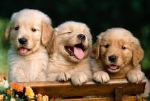 Simply Golden Puppies / by Rechelle Blank