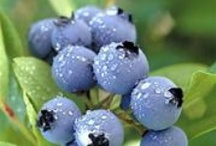 Blueberry Varieities for the Southeast. / The best rabbiteye Blueberry varieties for the southeast.