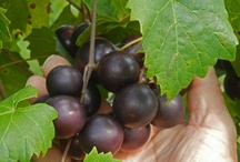 New Muscadine Variety temp name 15-1-1 / The next new muscadine that will be released through Ison's Nursesry & Vineyard