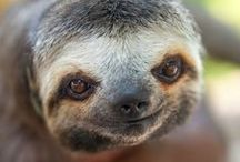 Sloths / Sloth's used to freak me out so bad. now they make me laugh so hard. i love sloth's. i want one! One day i hope i can meet one and pat it.
