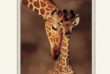 Nature - Giraffe