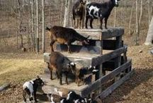 Goats / Goats are some of the best animals to make a part of your farm! Get all goat tips here and at Longbournfarm.com!