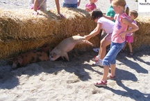 Pig Catching Contest at Natura Parc®