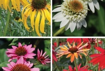 "Crazy about Coneflowers / The varieties of colors & bloom shapes of the old time favorite, Echinacea, have exploded. The new varieties are just as tough as the old, being drought tolerant, vigorous bloomers & what we call ""forgiving"". They will adapt to nearly any soil as long as they have 6 hours or more of sun each day. Echinacieas are one of a few perennials that offer blossoms from June until frost. They are wildlife friendly, too. Butterflies sip their sweet nectar & birds feast on their seed heads."