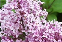 Lovely Lilacs / The heady perfume of blooming lilacs fills the air...