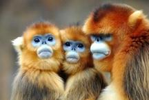 Macacos me mordam ! / Monkeys, orangutan, gorillas, chipanzees, etc