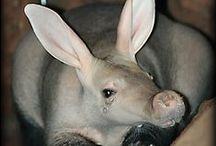 Aardvark/Oryctérope