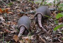Armadillo/Tatou / Les tatous sont des mammifères d'Amérique tropicale et subtropicale appartenant à l'ordre des Cingulata au sein du super-ordre des xénarthres (anciennement super-ordre des édentés ). Ils sont reconnaissables à leurs plaques cornées formant une carapace défensive lorsqu'ils se roulent en boule.