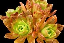 Succulents & Cacti / I'm now posting all succulent pics here:  http://pinterest.com/tropicalblues2/boards/