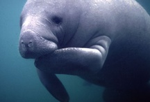 We Love Manatees / Manatees come to Blue Spring State Park every year in search of warmer waters.  http://visitwestvolusia.com/whattodo.cfm/mode/parksstate