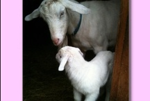 My Pinterest Farm - Welcome / A collection of farm animals