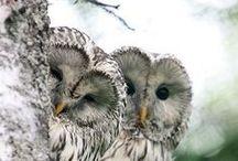 Owls - KSU