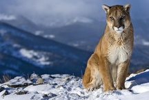 Mountain Lions! / by Young Harris