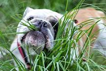 Dogs / (My) Bulldog and other breeds