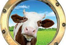Hole-y Cow / Vache à hublot / Shame on farmers... !
