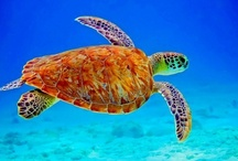 Endangered - Sea Turtles / Loggerhead sea turtles currently face threats from commercial fisheries, habitat destruction, and climate change along our coasts and throughout the Gulf of Mexico.  http://bit.ly/Uk230S