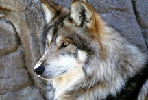 Endangered - Mexican Gray Wolf / The Mexican gray wolf is the smallest, southern-most occurring, rarest, and most genetically distinct subspecies of gray wolf in North America. http://bit.ly/VPcKKH