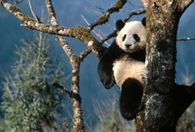 Endangered - Giant Pandas / Climate change is threatening global ecosystems through its impact on the survival of individual species and their ecological functions - http://bit.ly/TJhmu5