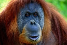 Endangered - Bornean Orangutan / An estimated 49% of the orangutan distribution will be lost if all forest outside of protected areas and logging concessions is lost - http://bit.ly/TQNHBt