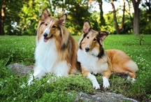 Collie love / by Kelley Nelson