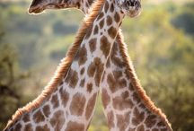 Giraffes / All things Giraffes...animals, toys, clothing, decorations, and more! / by Katie Keeler
